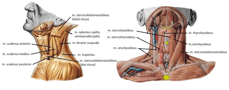 nyaki izom hipertónia normális hipertóniából